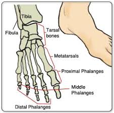 Top Foot Anatomy Foot Toe Anatomy At Best Anatomy Learn