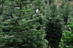 astonishing real trees tips on using cheap