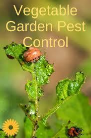 best 25 garden pests ideas on pinterest insect repellent plants