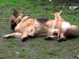 australian shepherd chihuahua mix chihuahua in love with german shepherd alsatian youtube