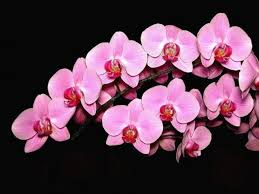 pink orchids orchid daze surreal beauty the zac team re max metro atlanta