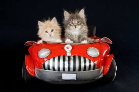 how to travel with a cat images Let 39 s talk does your cat actually like car travel catster jpg