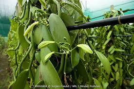 vanilla orchid minden pictures stock photos vanilla orchid vanilla planifolia