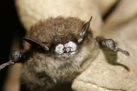 new york state may capture bats to save them from white nose