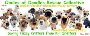 doodle for adoption indiana oodles of doodles rescue collective poodle mix doodle