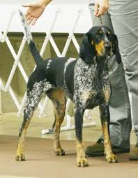 bluetick coonhound in florida bluetick coonhound new breeds at 2011 westminster dog show