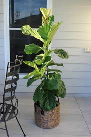 Plants That Dont Need Sunlight by How To Care For A Fiddle Leaf Fig