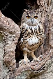 european eagle owl in a tree hollow stock photo picture and