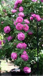 online shop 100 pcs climbing rose seeds rare climbing plant rose