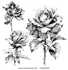 design flower rose drawing wild flowers roses isolated black ink stock photo photo vector