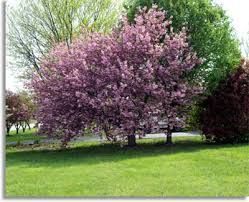 trees with pink flowers southeastern outdoors flowering dogwood tree