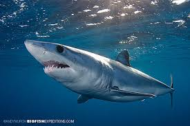 california blue snorkel with mako sharks blue sharks and more sharks in cabo san