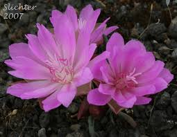 State Flower Of Montana - bitter root lewisia rediviva var rediviva synonyms lewisia