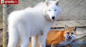 white wolf arctic wolf and fox form friendship photos