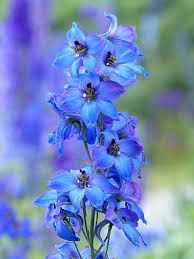 delphinium flower plant flower larkspur free photo on pixabay