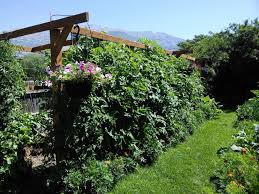 north mountain straw bale gardening revisited