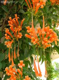 Tropical Climbing Plant - orange trumpet creeper pyrostegia venusta spectacular terminal