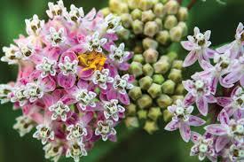 native plants for butterfly gardening benton soil u0026 water homegrown milkweeds missouri department of conservation