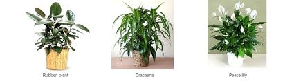 best plant for office best plants for office good office plants a breath of fresh air