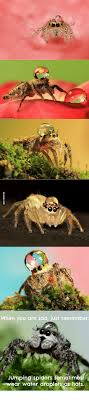 Sad Spider Meme - jumping spiders sometimes water droplets hats jumping spider meme