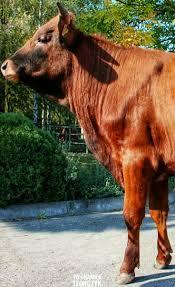 best 25 breeds of cows ideas on pinterest cattle pig breeds