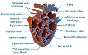 Anatomy Of Heart Valve Human Heart Structure Tutorvista Com