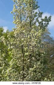 pyrus calleryana chanticleer callery pear chanticleer trees