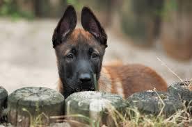 belgian malinois names belgian malinois dog breed gallery