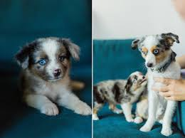1 australian shepherd introducing zelda the mini australian shepherd charleston sc