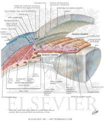 Picture Of Eye Anatomy Anterior And Posterior Chambers Of Eye Anatomy Of The Anterior Chamber