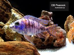 ornamental fish thailand ornamental fish thailand suppliers and