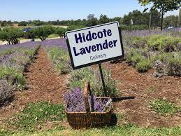 high hand nursery presents lavender picking at maple rock gardens