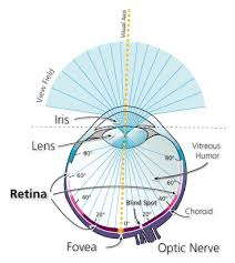 The Blind Spot In The Eye Is Due To Neuroscience Can The Human Eye Distinguish Colors In The