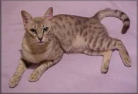 cat with australian shepherd australian mist cat breed cat information u0026 pictures