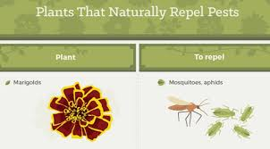 Plants That Repel Aphids by Pests Be Gone U2013 3 Easy Ways To Get Rid Of Insects In Your Garden