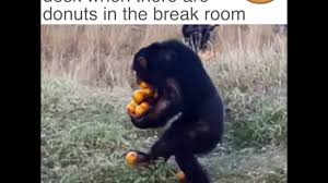 Chimp Meme - walking back to my desk when there are donuts in the break room