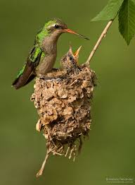 251 best birds hummingbirds and sunbirds images on pinterest