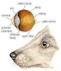 what causes eyes to be sensitive to light a guide to dog eye problems to light