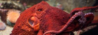 Seeking Octopus Mexican Organized Crime Groups Are Now Stealing Octopuses War Is