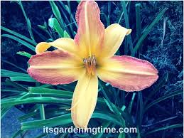 3 steps to a perfect day lily yellow pink flowers it u0027s