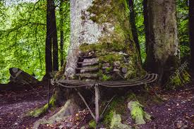 old bench with a big tree growing around it stock photo picture