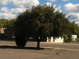 chokecherry trees for sale in mn minnesota wholesale trees