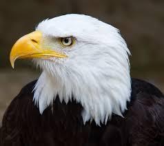file bald eagle head 2 6021915997 jpg wikimedia commons
