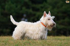 scottish yerrier haircuts scottish terrier dog breed information buying advice photos and