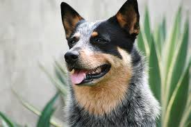 australian shepherd club qld history of queensland heeler dogs cuteness