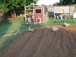 can keeping backyard chickens kill you backyard chickens