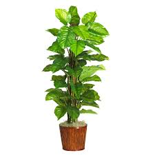 large leaf house plants plants uauguste ferrier pinterest best