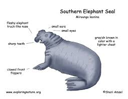 seal southern elephant