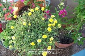 all about purslane garden org