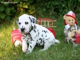 dalmatian dog shipping rates u0026 services